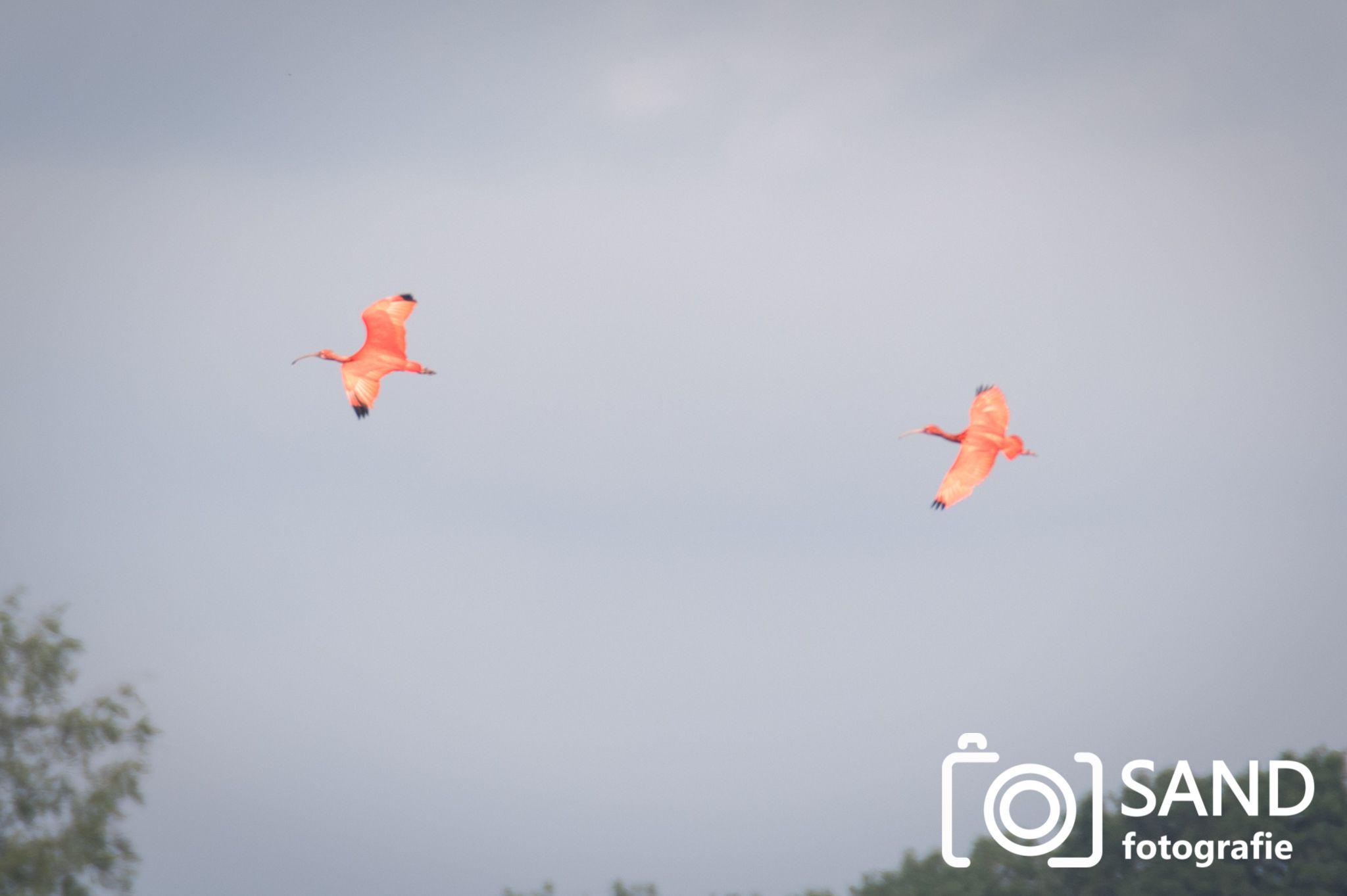 Rode ibissen en andere dieren op de Zunasche Heide bij Rijssen Sand Fotografie